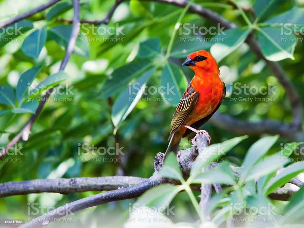 Male red fody bird on the tree branch stock photo