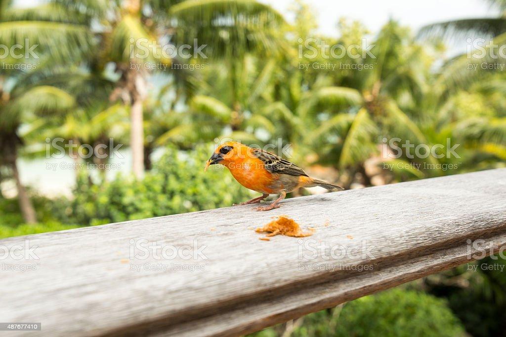Male red fody Foudia madagascariensis, Seychelles and Madagascar bird. stock photo