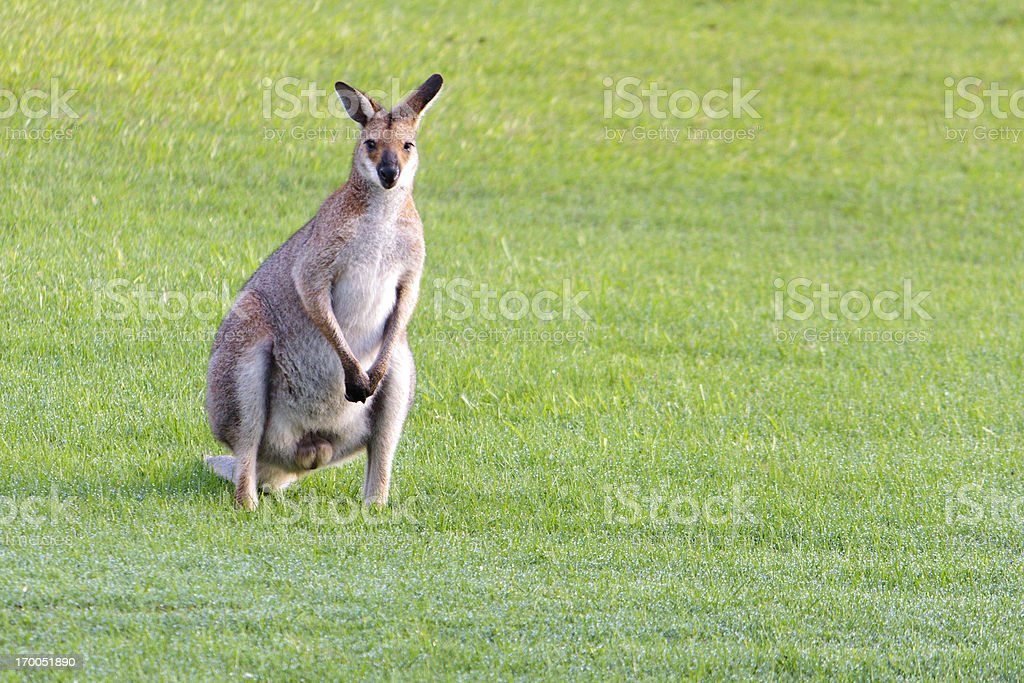 male red-necked wallaby on wet grass royalty-free stock photo