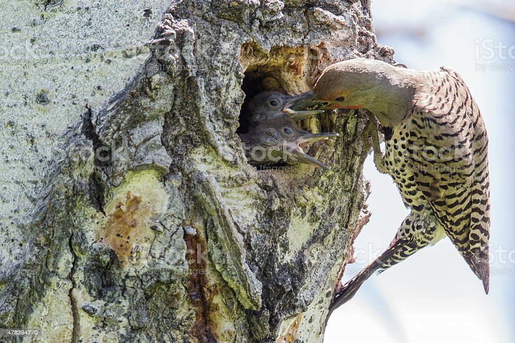 Male Red-Shafted Northern Flicker (Western) feeds his young. stock photo