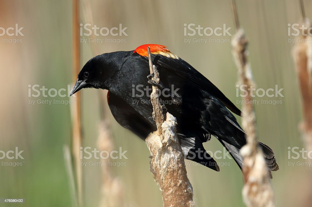 Male Red-winged Blackbird on Cattail stock photo