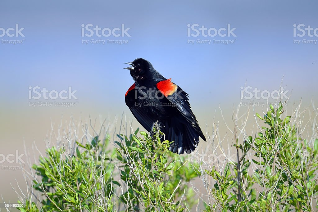 Male Red-winged Blackbird stock photo