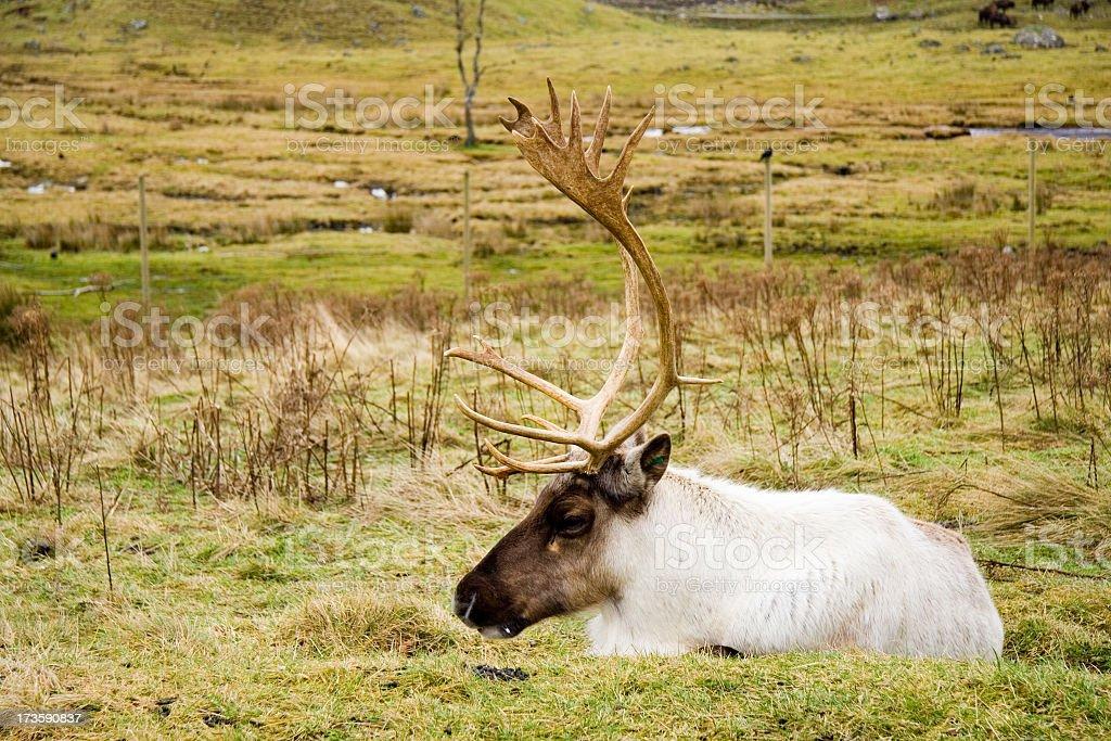 Male Reindeer stock photo