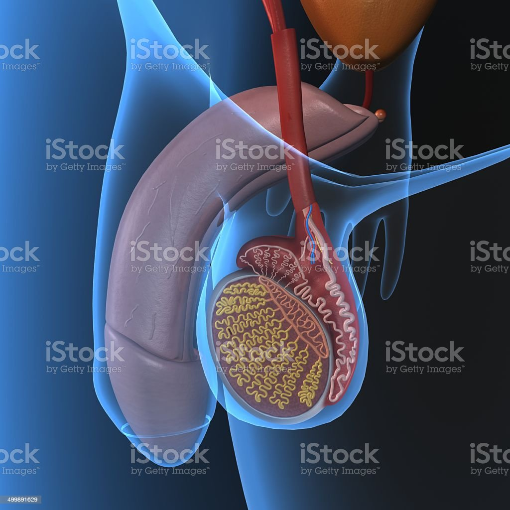 Male reproductive system stock photo