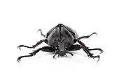 Male Rhinoceros beetle, Hercules beetle, Unicorn beetle, Horn be