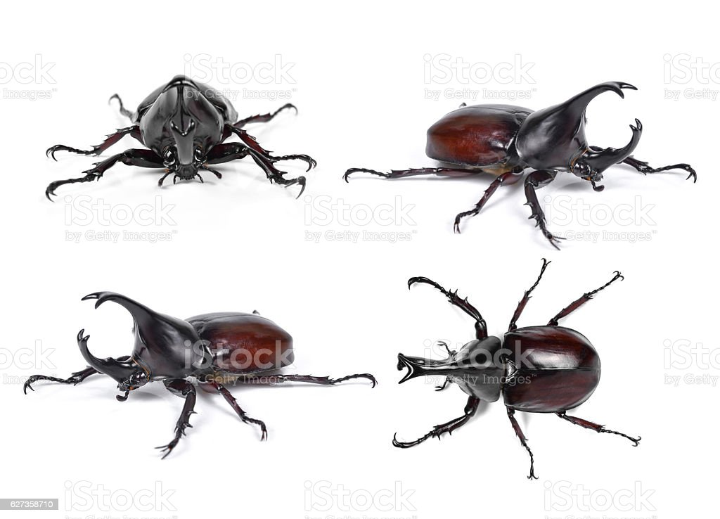 Male Rhinoceros beetle, Hercules beetle, Unicorn beetle, Horn be stock photo