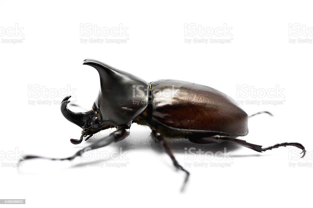 Male Rhinoceros beetle stock photo