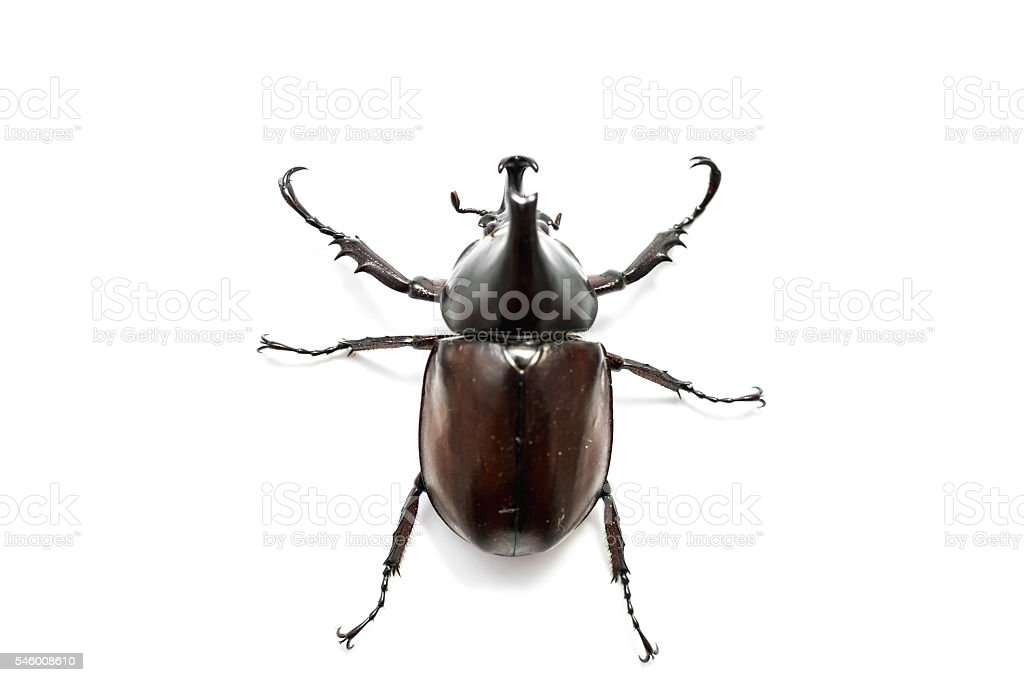 Male Rhinoceros beetle stock photo