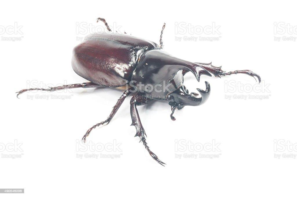 Male Rhinoceros beetle, Rhino beetle, Hercules beetle, Unicorn beetle stock photo