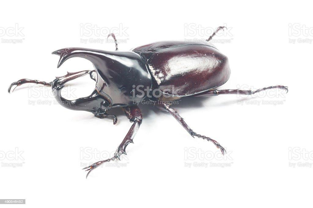 Male Rhinoceros beetle, Rhino beetle stock photo