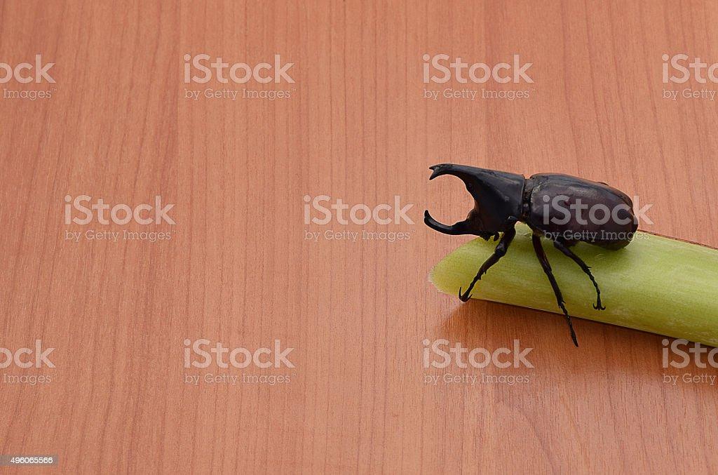 Male Rhinoceros beetle  sticks on  banana. stock photo