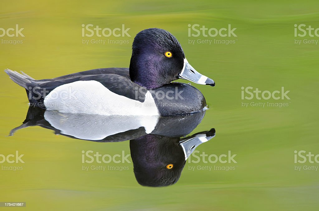Male Ring-necked Duck Reflection stock photo