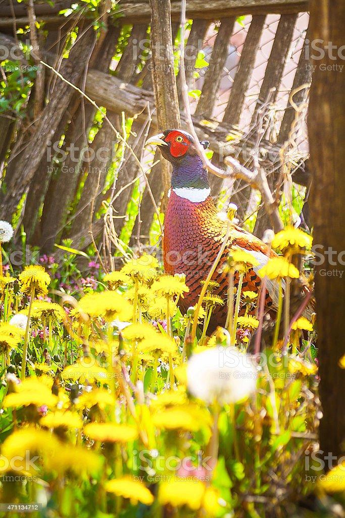 Male Ring-Necked Pheasant stock photo