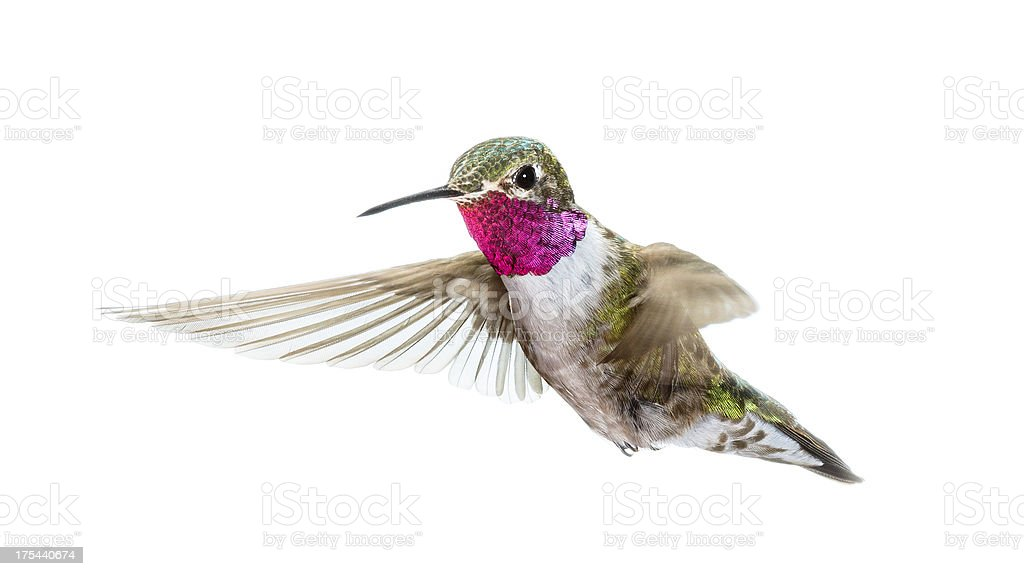 male Ruby-throated Hummingbird hovering in flight stock photo