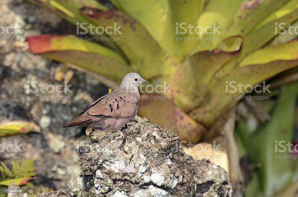 Male ruddy ground dove and bromelia in Ilha Grande RJ stock photo