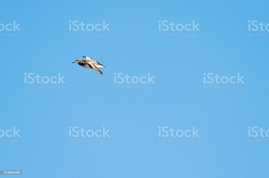 Male Ruddy Turnstone flying stock photo