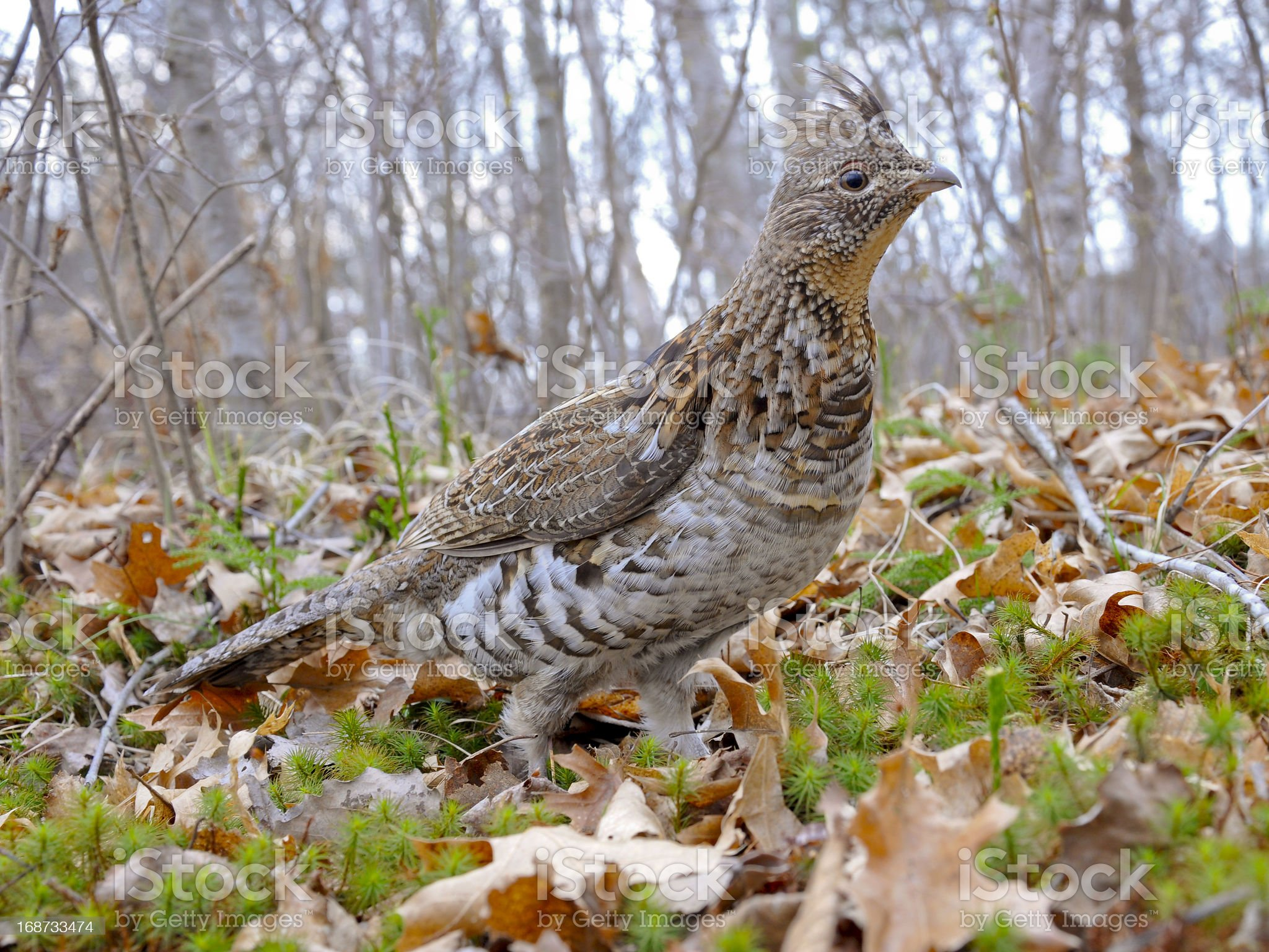 Male Ruffed Grouse royalty-free stock photo
