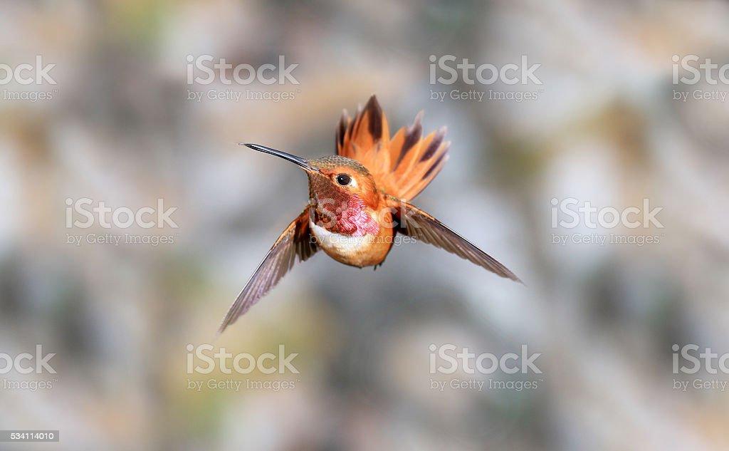 Male Rufous Hummingbird in Flight, Diving Mode stock photo