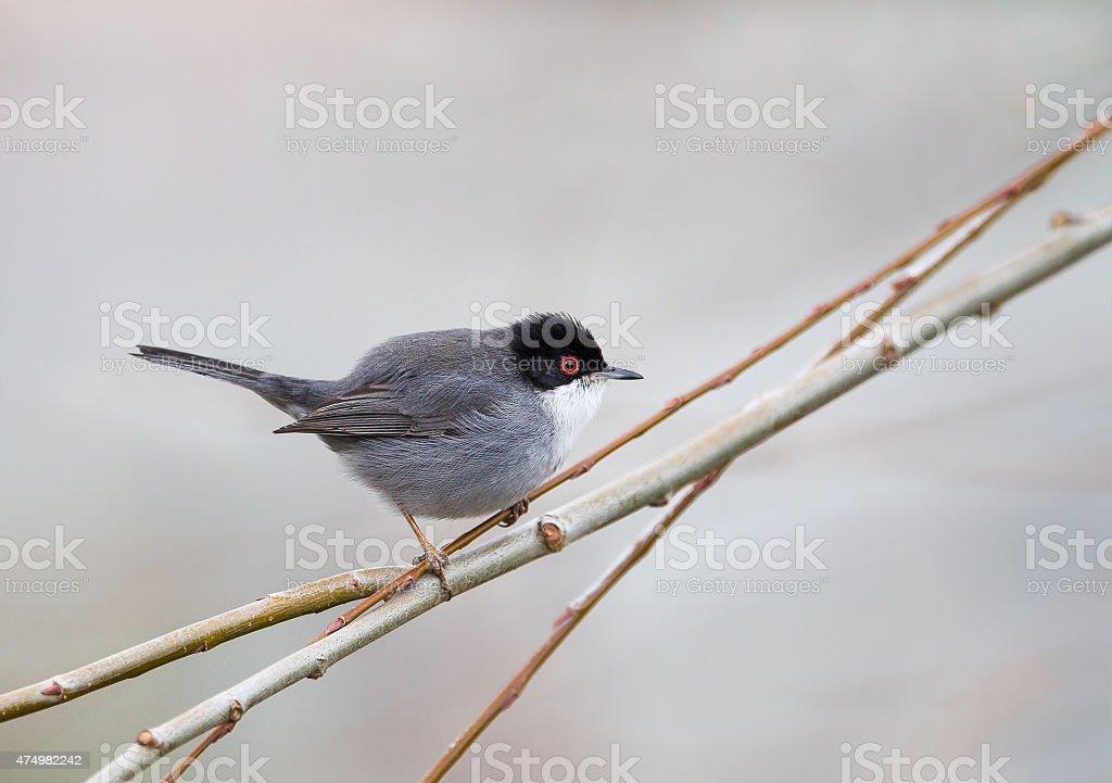 Male Sardinian Warbler stock photo