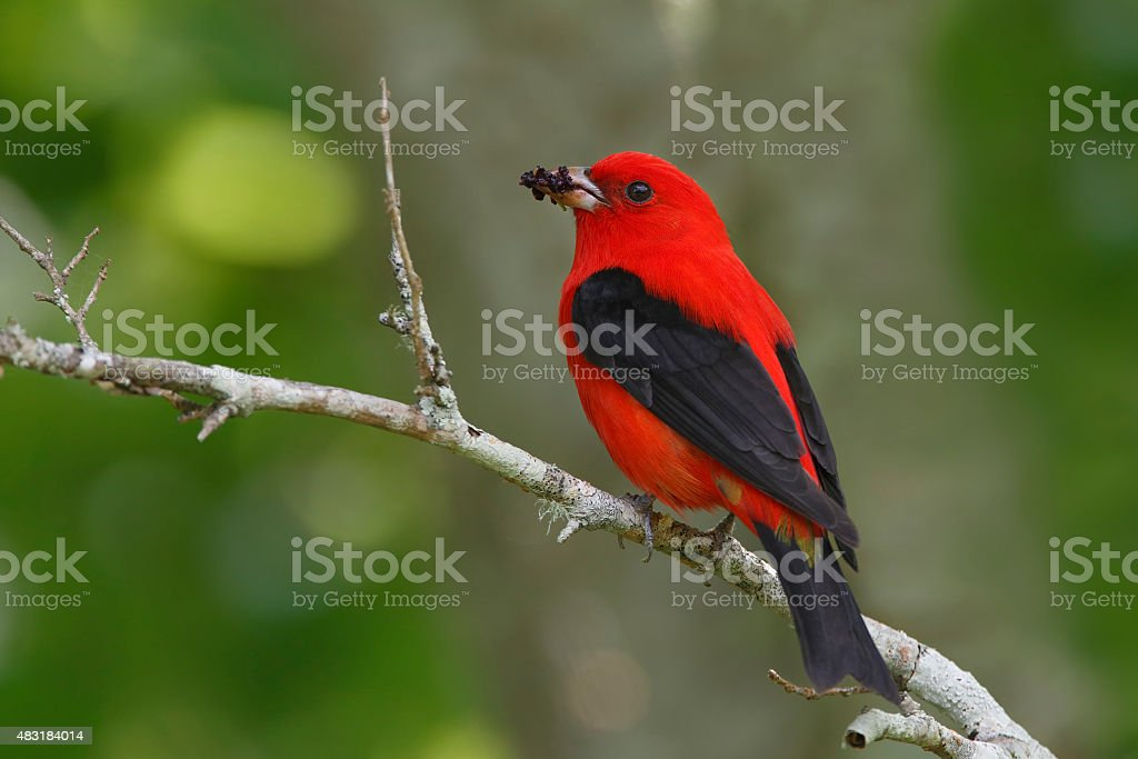 Male Scarlet Tanager Eating Mulberries stock photo