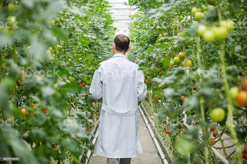 Male scientist walking in greenhouse stock photo