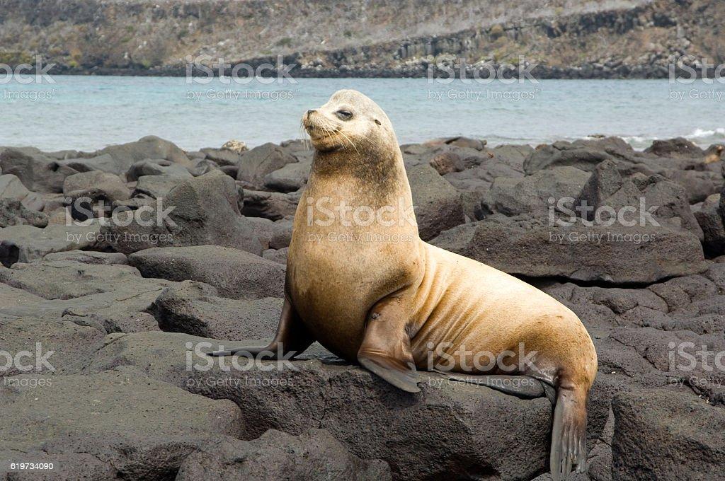 Male sea lion, 'Beach Master', Galapagos Islands stock photo