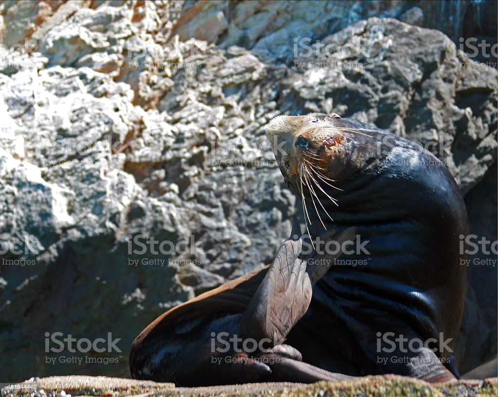 Male Seal basking in the sun on lands end stock photo