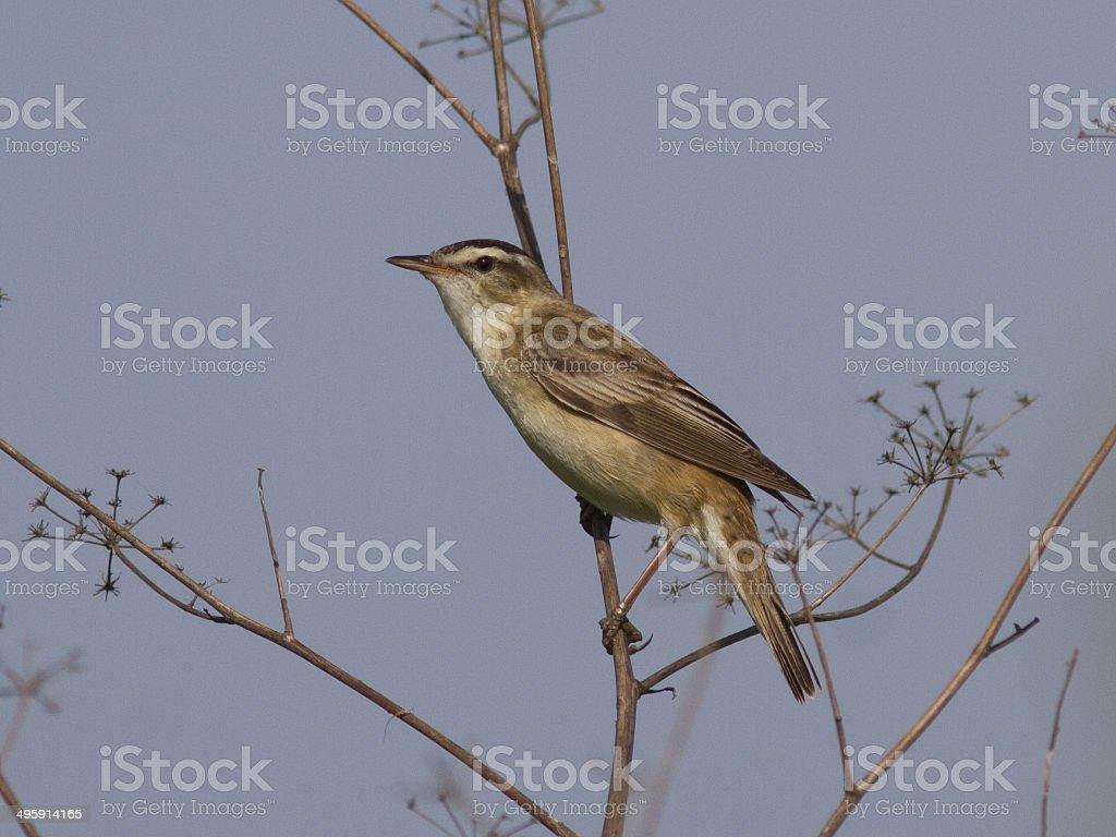 Male Sedge Warbler (Acrocephalus schoenobaenus). stock photo