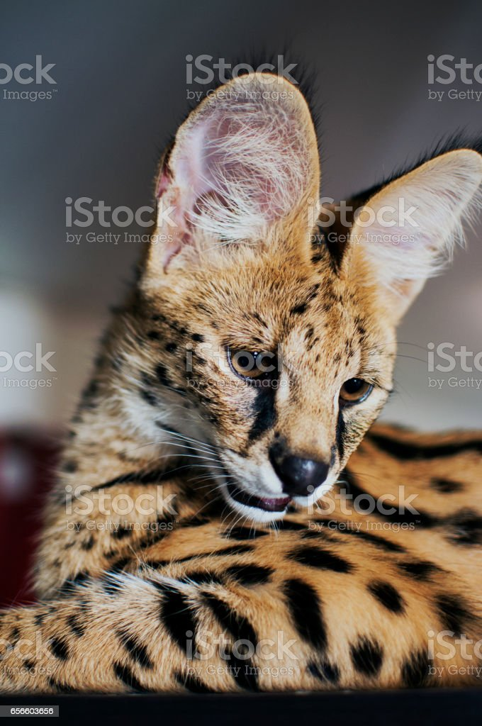 Male serval cat (leptailurus serval) looks down. stock photo