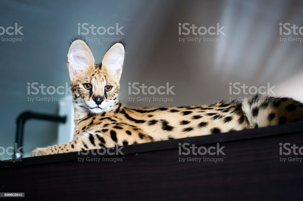 Male serval cat (leptailurus serval) sitting on top of cupboard. stock photo