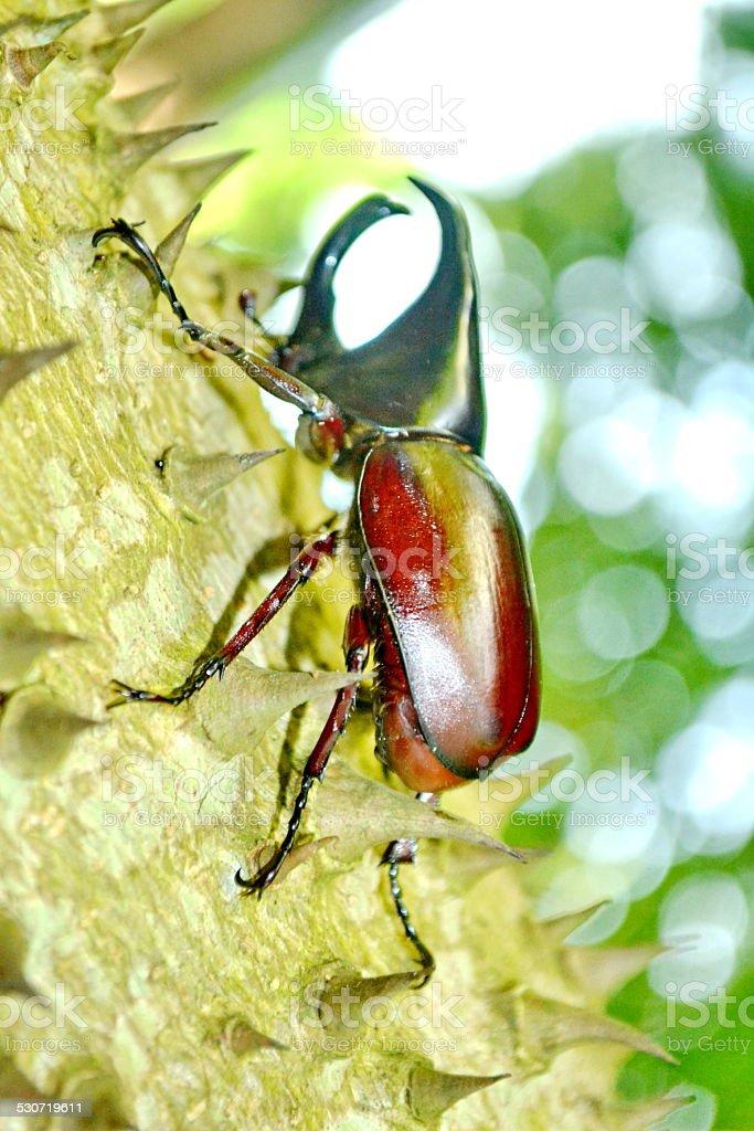 Male Siamese rhinoceros beetle stock photo