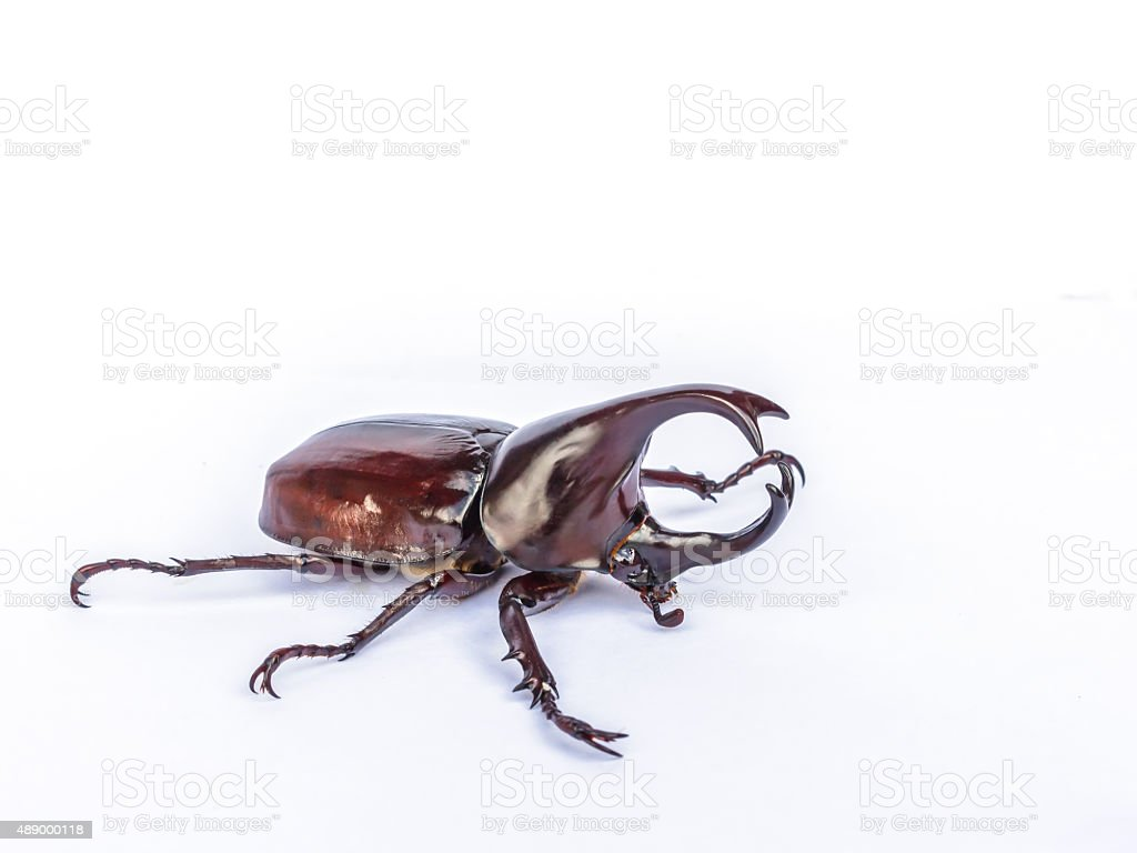Male Siamese rhinoceros beetle, Xylotrupes gideon isolated on wh stock photo