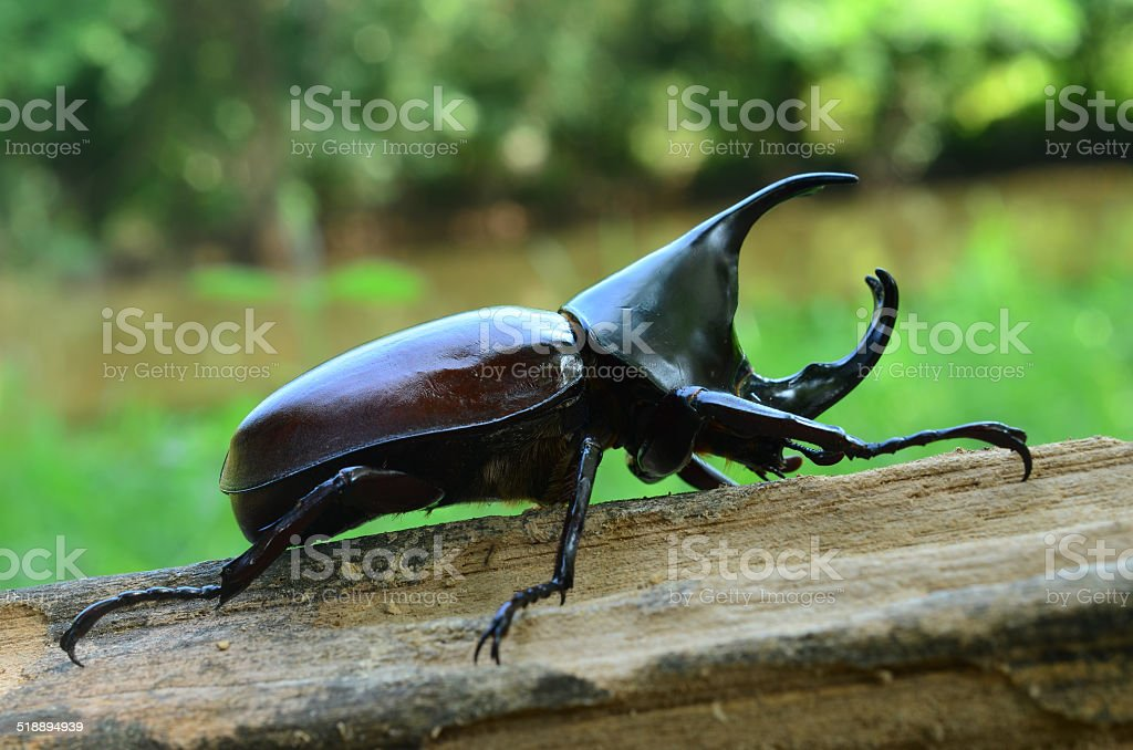 Male Siamese rhinoceros beetle, Xylotrupes gideon stock photo