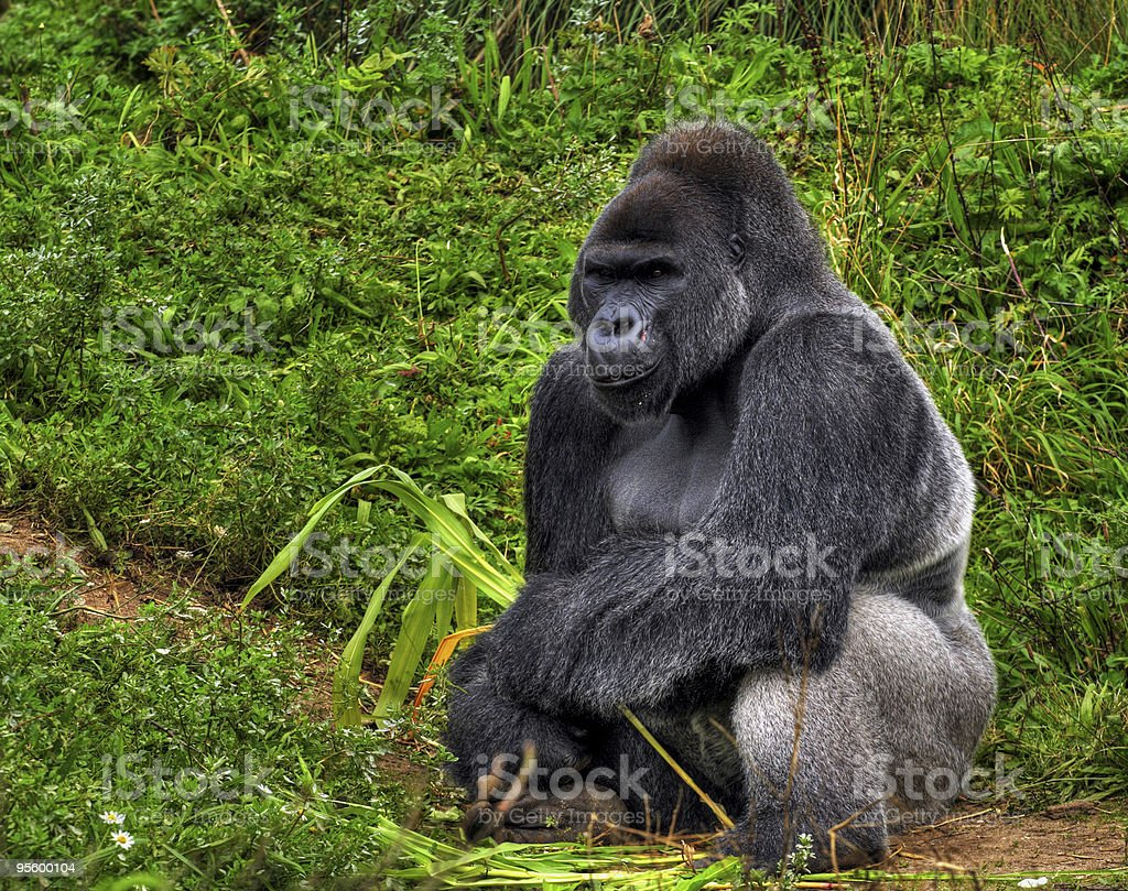 Male silver back gorilla sitting by a grassy hill stock photo