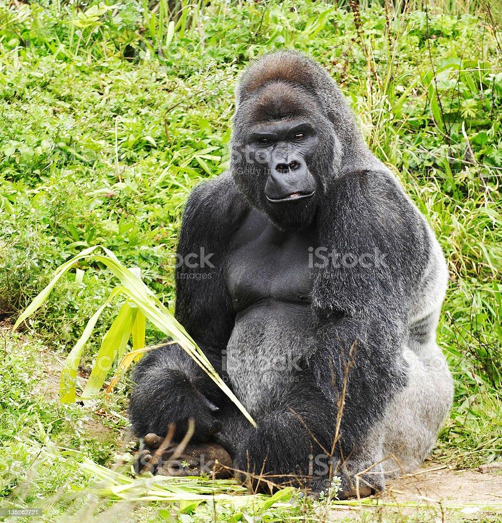 Male Silver Back Gorilla Sitting royalty-free stock photo