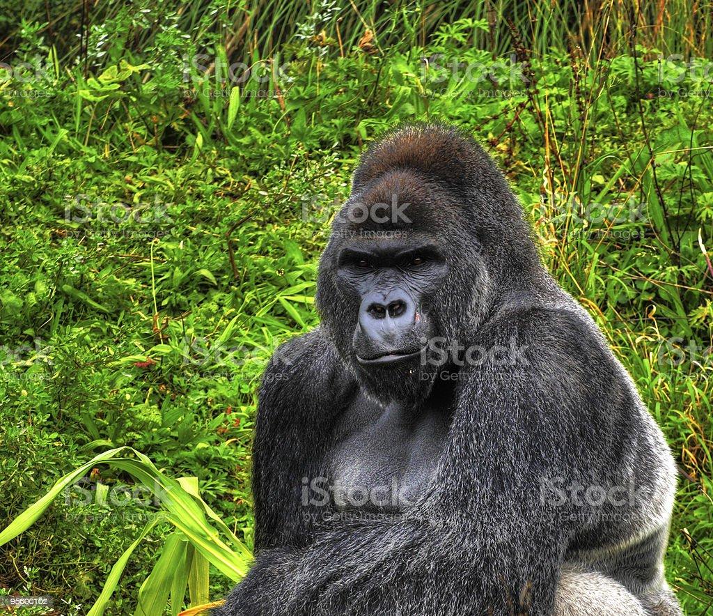Male Silverback Gorilla royalty-free stock photo