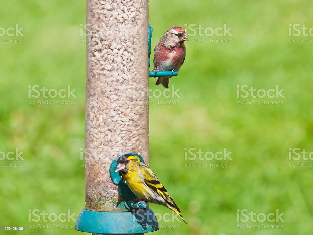Male Siskin and Redpoll on seed feeder stock photo