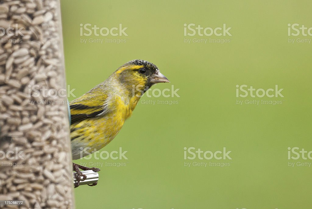 Male Siskin, Carduelis spinus, on seed feeder stock photo