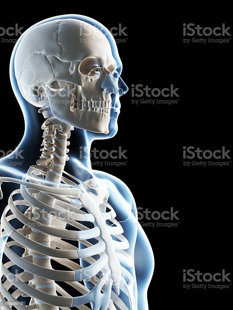 male skeleton royalty-free stock photo