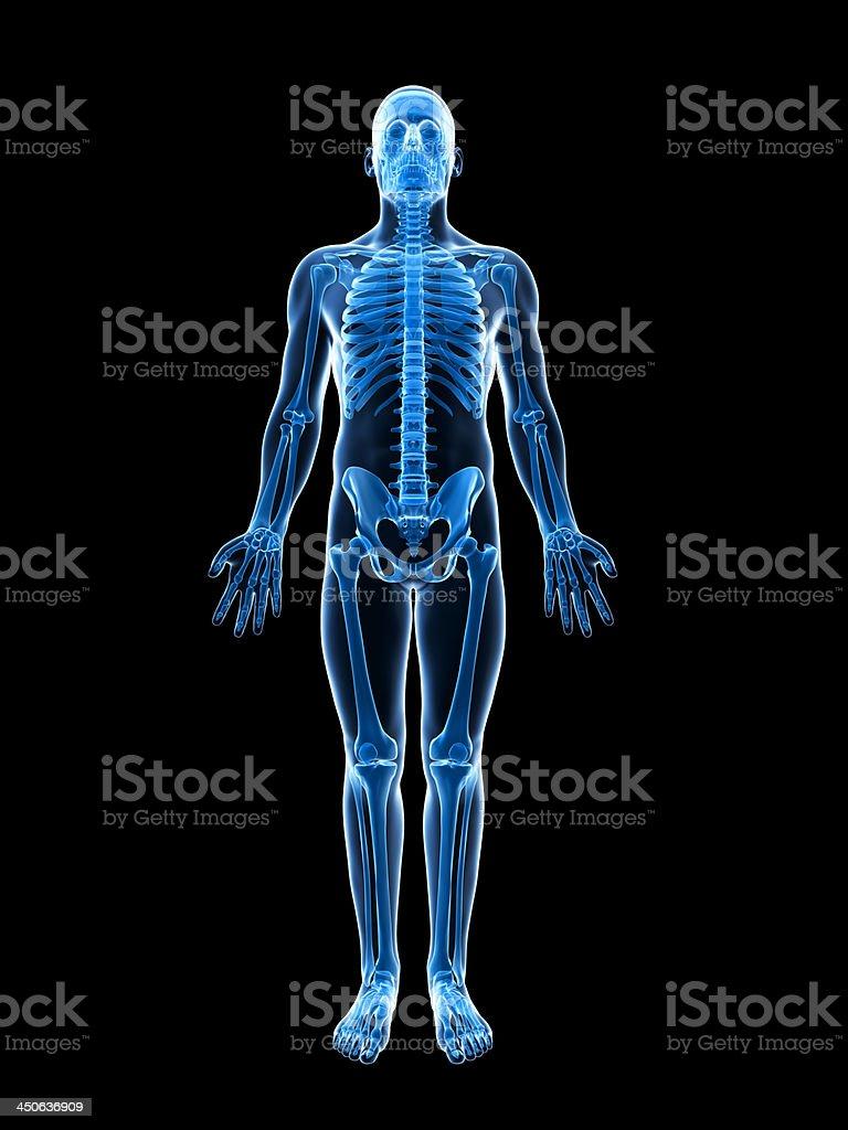 male skeleton stock photo