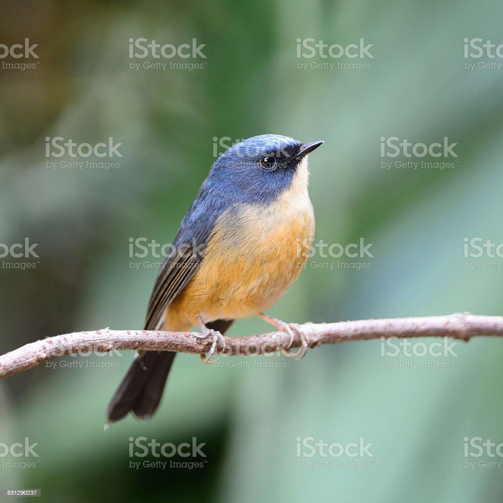 male Slaty-blue Flycatcher stock photo