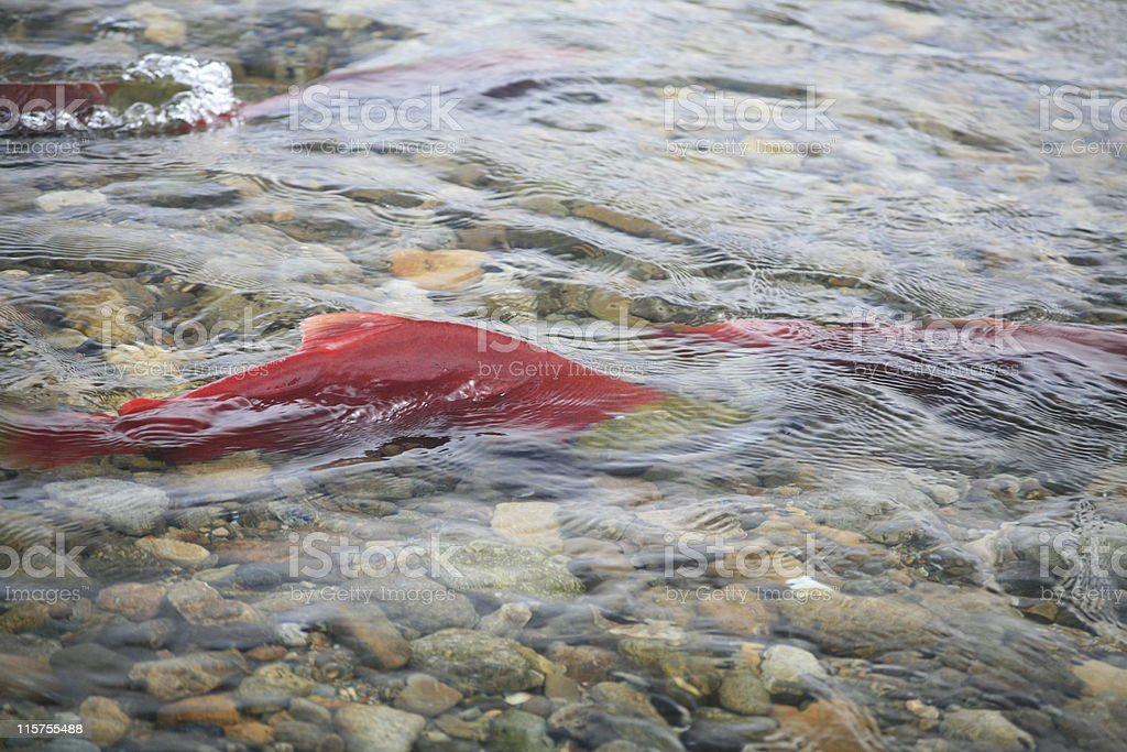 Male Sockeye Salmon in the Adams River near Chase, BC. royalty-free stock photo