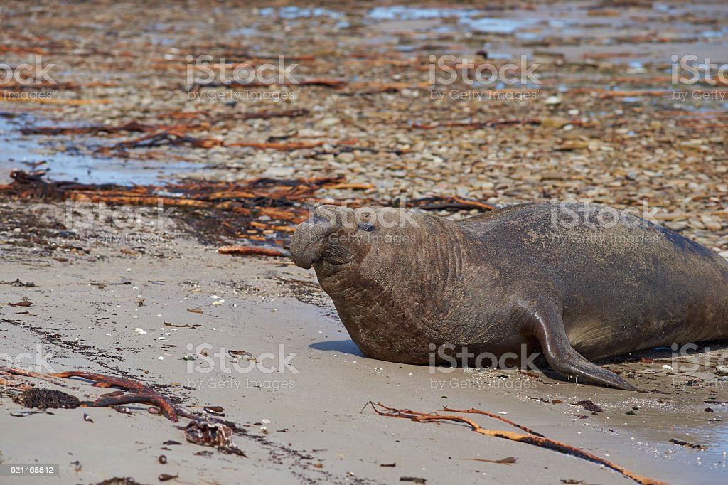 Male Southern Elephant Seal stock photo