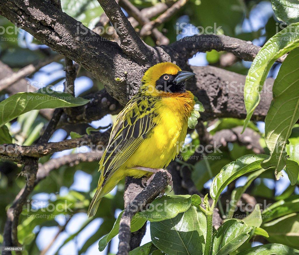 male Speke's Weaver,yellow bird stock photo