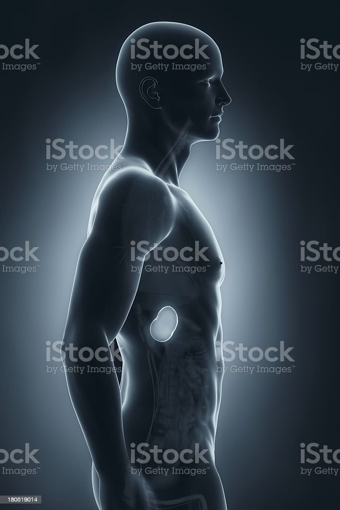 Male spleen anatomy lateral view royalty-free stock photo