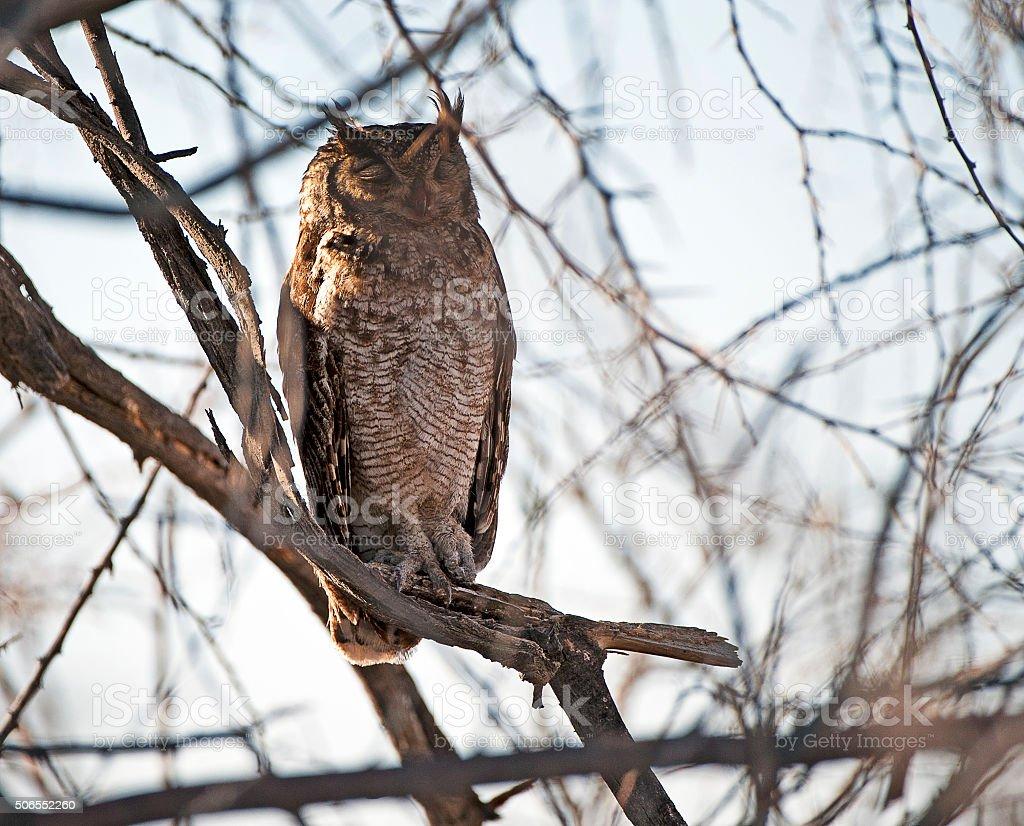 Male Spotted Eagle Owl, Etosha National Park, Namibia, Africa stock photo
