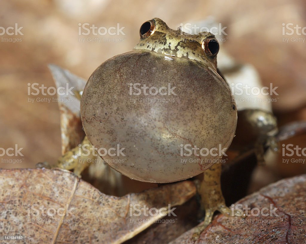 Male Spring Peeper Calling For a Mate stock photo