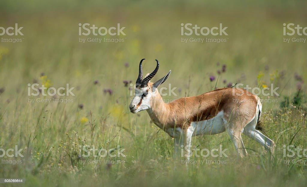 Male Springbuck in field of flowers stock photo