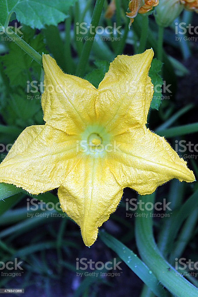 Male Squash Flower in the Home Garden stock photo