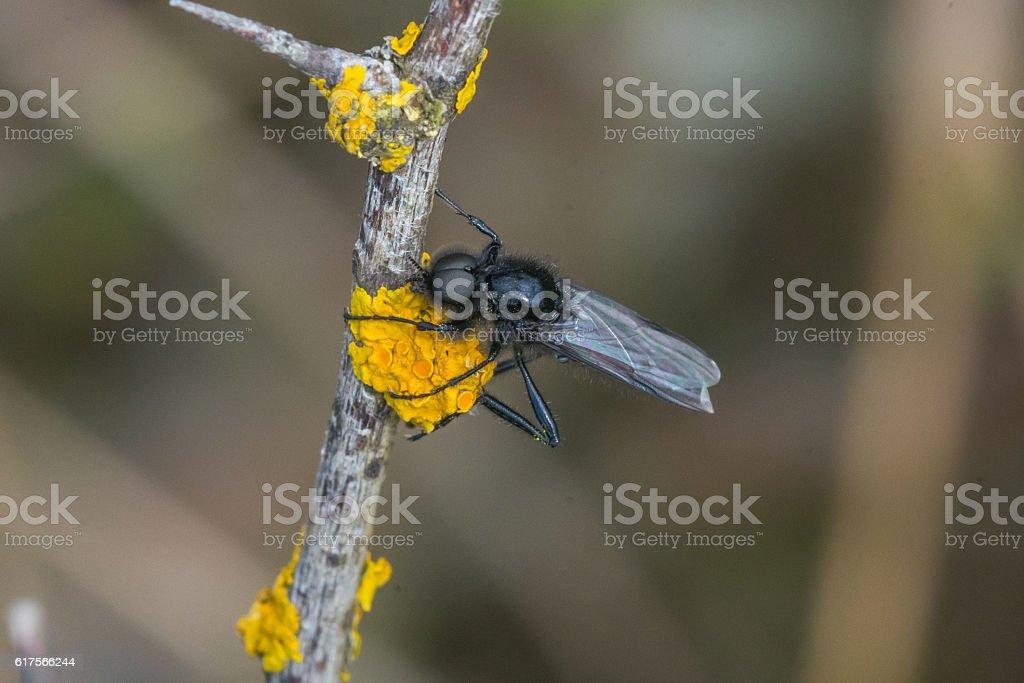 Male St Marks Fly  Bibio marci on Orange Lichen Macro stock photo